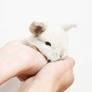 茨城県水戸市にあるウサギ販売店「プティラパン」 ロップ『なな』ベビー 12/23生⑥
