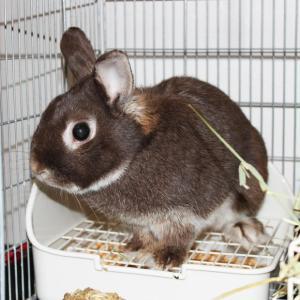 茨城県水戸市にあるウサギ販売店「プティラパン」 お泊りウサギさん(2020,12,30)