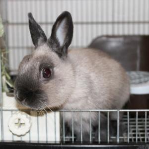 茨城県水戸市にあるウサギ販売店「プティラパン」 お泊りウサギさん(2021,1,1)