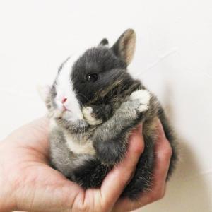 茨城県水戸市にあるウサギ販売店「プティラパン」 ネザーランド『桜』ベビー 12/16生④