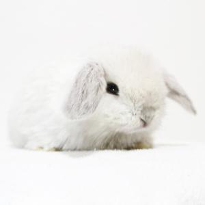 茨城県水戸市にあるウサギ販売店「プティラパン」 ロップ『なな』ベビー 12/10生⑦