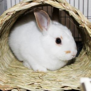 茨城県水戸市にあるウサギ販売店「プティラパン」 お泊りウサギさん(2021,1,7)