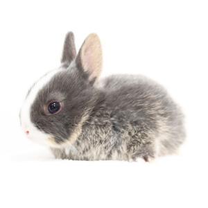 茨城県水戸市にあるウサギ販売店「プティラパン」 ネザーランド『桜』ベビー 12/16生⑤