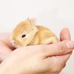 茨城県水戸市にあるウサギ販売店「プティラパン」 ネザーランド『なっちゃん』ベビー 1/3生④