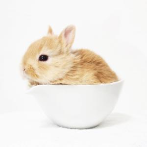 茨城県水戸市にあるウサギ販売店「プティラパン」 ネザーランド『なっちゃん』ベビー 1/3生⑤