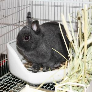 茨城県水戸市にあるウサギ販売店「プティラパン」 お泊りウサギさん(2021,6,18)