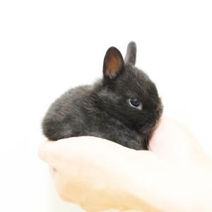 茨城県水戸市にあるウサギ販売店「プティラパン」 ネザーランド『ノコ』ベビー 6/2生③