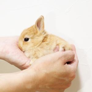 茨城県水戸市にあるウサギ販売店「プティラパン」 ネザーランド『ノワ』ベビー 6/2生③