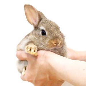 茨城県水戸市にあるウサギ販売店「プティラパン」 ネザーランド『チロル』ベビー 5/16生⑦