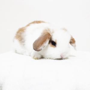 茨城県水戸市にあるウサギ販売店「プティラパン」 ロップ『ラテ』ベビー 6/30生④
