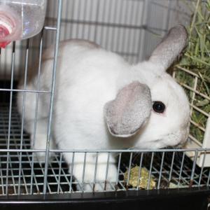 茨城県水戸市にあるウサギ販売店「プティラパン」 お泊りウサギさん(2021,7,25)