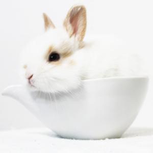 茨城県水戸市にあるウサギ販売店「プティラパン」 ネザーランド『キキ』ベビー 8/30生⑤