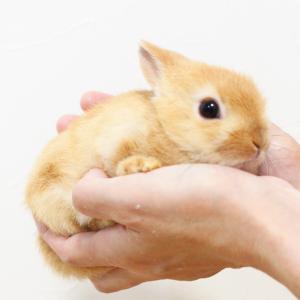 茨城県水戸市にあるウサギ販売店「プティラパン」 ネザーランド『キャンディー』ベビー 8/12生⑥