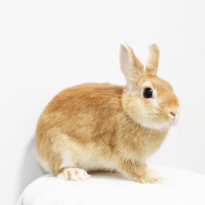茨城県水戸市にあるウサギ販売店「プティラパン」 ママウサギ候補『まおちゃん』のご紹介