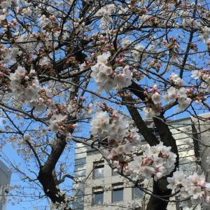 四谷の桜は見頃です!
