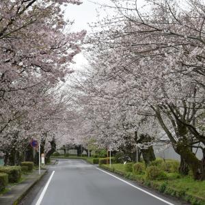 三島遺伝研の桜(2020年)