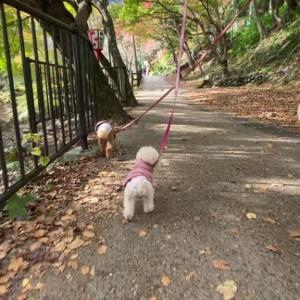 紅葉散歩を楽しんだ元保護犬姉妹