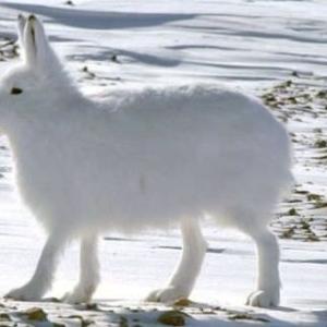 【画像】北極ウサギ、脚が長すぎる