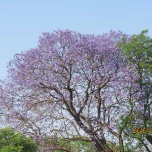 ジンバブエ「ブラワヨ」もジャカランダが咲き誇る綺麗な街。