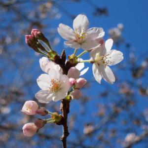 大宮公園の桜情報2019