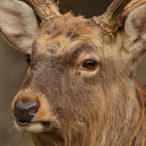 鹿について考える。鹿の視力は?オレンジ色は見えるの?猟友会ベストは有効?