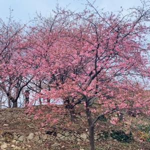 河津桜情報