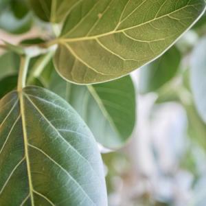 悩んで決めた観葉植物はフィカス・ベンガレンシス!