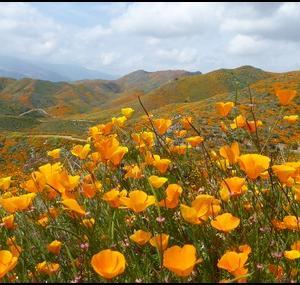 CA:花見1_カリフォルニアポピー