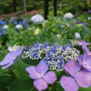 宇治(13)紫陽花園