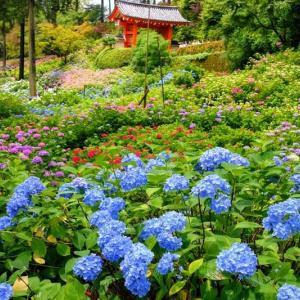 宇治(12)三室戸寺の紫陽花