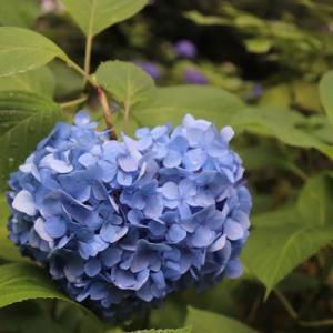 嵐山(17)天龍寺の紫陽花