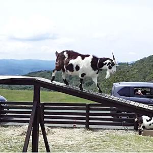 橋渡るヤギ・ペチュニア畑、車窓から楽しむ…マザー牧場でドライブスルー