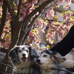 親ばか発言満載!横浜公園のチューリップとトレジャーズちゃん☆彡