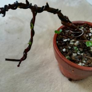 我が家のミニ盆栽 春の新芽ラッシュ❗ その4