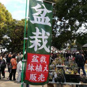 上野公園でミニ盆栽がたくさん販売‼️桜も満開花見