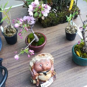 上野公園ミニ盆栽販売 パート2  桜のミニ盆栽