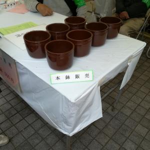 さくら草の専用鉢 inさくら草祭