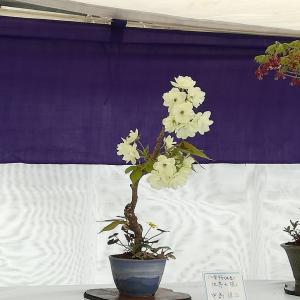 山草会によるミニ盆栽展 八重桜、チチコグサなど