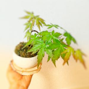 新緑❗新緑のもみじ 我が家のミニ盆栽