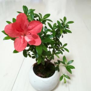 我が家のミニ盆栽花が咲きました❗