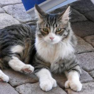 あともう2本指があったら・・ -奇跡の猫、polydactyl(ポリダクタル) cat-