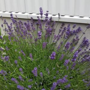 【庭づくり】6月上旬庭で咲いているもの植物紹介