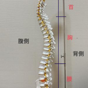 首、腰は曲げている時、椎間板はこうなっている。