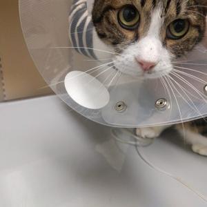 退院できるかも!|大怪我していた野良猫(22話)
