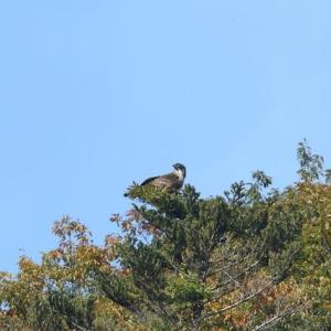 今秋の宮ケ瀬ダムのクマタカ・・・(270mの止まり木から飛び出す・・・)