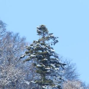 積雪の翌日・・・(ダム湖のクマタカ)