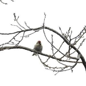 国立昭和記念公園の野鳥達・・・(ベニヒワとコイカル騒ぎ)