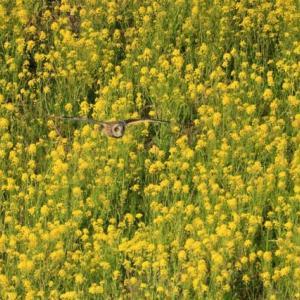 渡り前のコミミズク達・・・(黄色い野ダイコンの上を飛ぶ・・・)