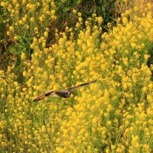 渡りを迎えているコミミズク達・・・(野ダイコンの花が咲く上を飛ぶ・・・)