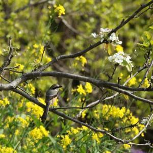 春爛漫の農耕地や河川の野鳥達・・・(コウゲンモズの花木絡みゲット)